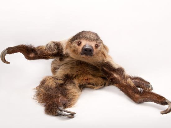 A two-toed sloth, Choloepus hoffmanni, at the Lincoln Children's Zoo.-Joel Sartore-Photographic Print