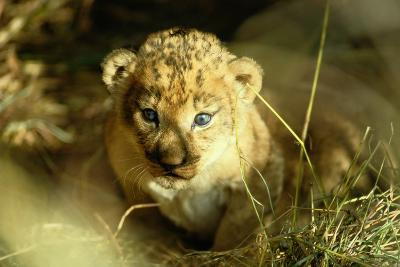 A Two-week-old Lion Cub with Blue Eyes-Beverly Joubert-Photographic Print