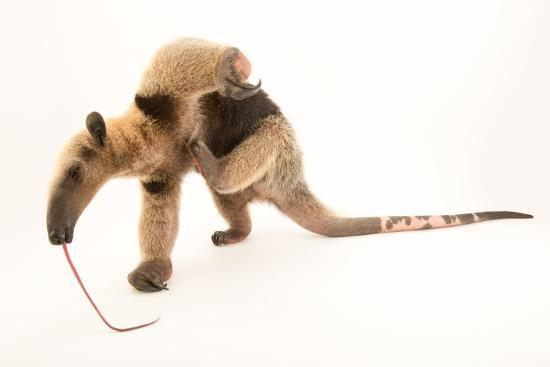 A Two Year Old Male Northern Tamandua, Tamandua Mexicana, at Summit Municipal Park.-Joel Sartore-Photographic Print