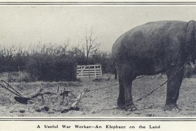 A Useful War Worker - an Elephant on the Land--Photographic Print