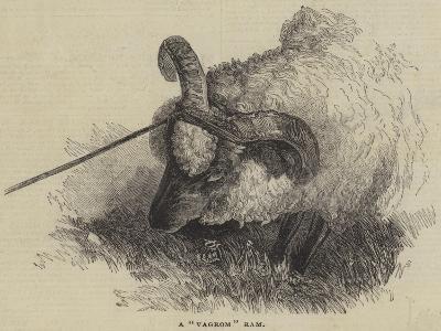 A Vagrom Ram--Giclee Print