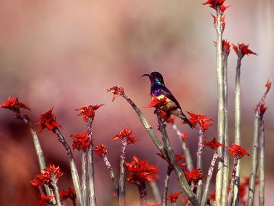 A Variable Sunbird, Nectarinia Venusta, Perched On Flowering Branches-David Pluth-Photographic Print
