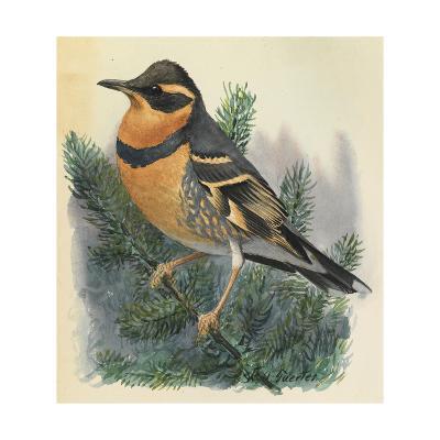 A Varied Thrush Bird Perches on a Branch-Louis Agassi Fuertes-Art Print