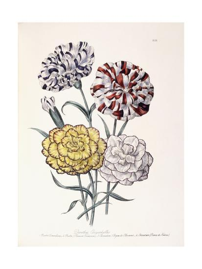 A Variety of Carnations-Jane W^ Loudon-Giclee Print
