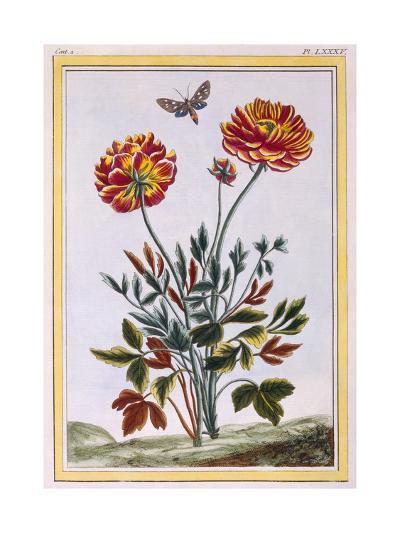 A Variety of Double Flowered Yellow Poppy, C.1776-Pierre-Joseph Buchoz-Giclee Print