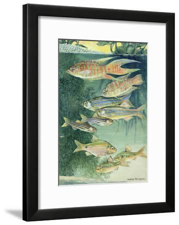 A Variety of Large Scaled Barbs and Danios-Hashime Murayama-Framed Giclee Print
