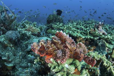 A Venomous Scorpionfish on a Coral Reef in Komodo National Park, Indonesia-Stocktrek Images-Photographic Print