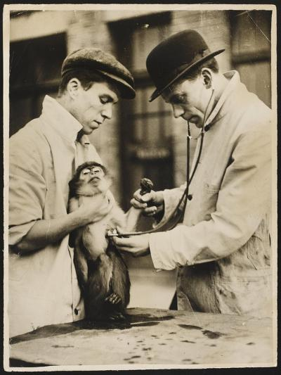 A Veterinary Surgeon and His Assistant Test a Monkey's Lungs at the Zoo Hospital--Photographic Print