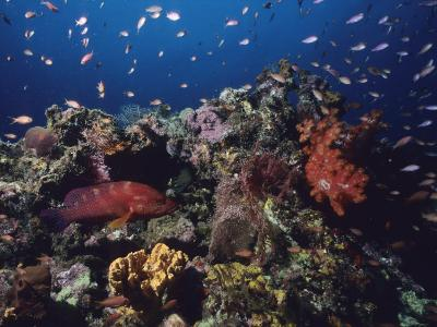 A Vibrant Reef Scene with Varieties of Coral, Fishes, and a Coral Cod-Tim Laman-Photographic Print