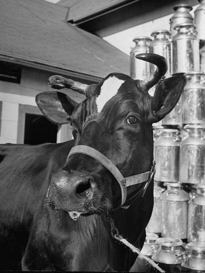 A View of a Cow on a Farm--Photographic Print