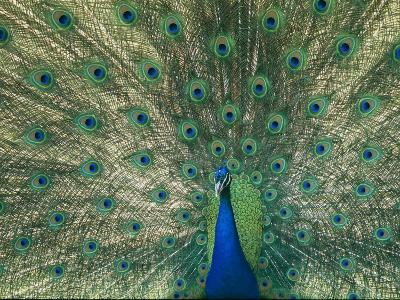 A View of an Indian Peacock with Tail Feathers Spread-Norbert Rosing-Photographic Print