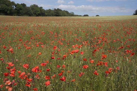 A View Of Poppies In Kent A Poppy Field Photographic Print Natalie Tepper Art Com