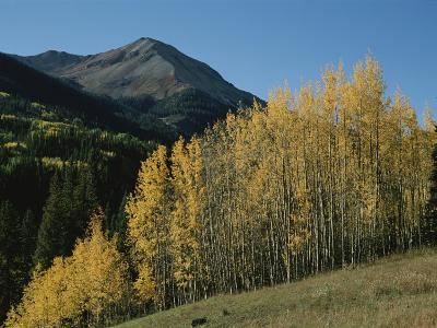 A View of Quaking Aspen Trees with Red Mountain in the Background-Marc Moritsch-Photographic Print