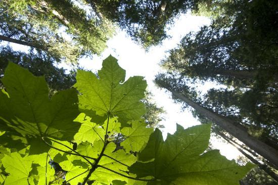 A Vine Maple Acer Circinatum And The Forest Canopy Photographic