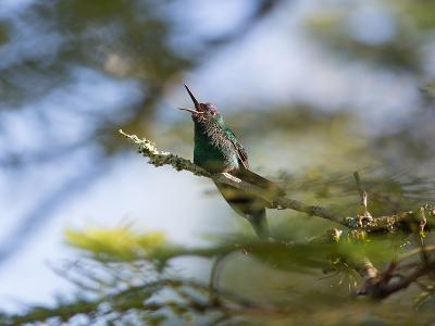 A Violet-Capped Wood Nymph Calls Out on a Branch in Ubatuba, Brazil-Alex Saberi-Photographic Print