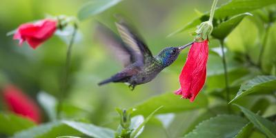 A Violet-Capped Woodnymph Feeds from a Flower in the Atlantic Rainforest-Alex Saberi-Photographic Print