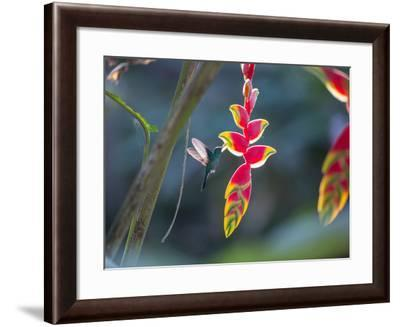 A Violet-Capped Woodnymph Hummingbird Feeds on Heliconia Rostratas in Ubatuba, Brazil-Alex Saberi-Framed Photographic Print
