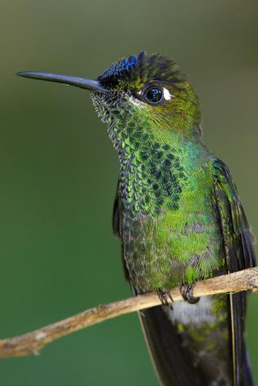 A Violet-Fronted Brilliant Hummingbird, Heliodoxa Leadbeateri, Perched on a Twig-Bertie Gregory-Photographic Print
