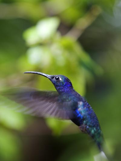 A Violet Sabrewing Hummingbird, Campylopterus Hemileucurus, in Flight-Marc Moritsch-Photographic Print