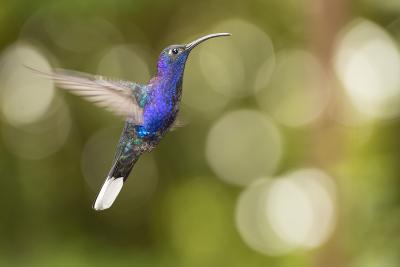A Violet Sabrewing Hummingbird, Campylopterus Hemileucurus, in Flight-Michael Melford-Photographic Print