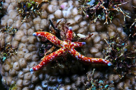 A Vivid Red Spotted Linckia Sea Star Perched Atop a Coral Reef-Jason Edwards-Photographic Print
