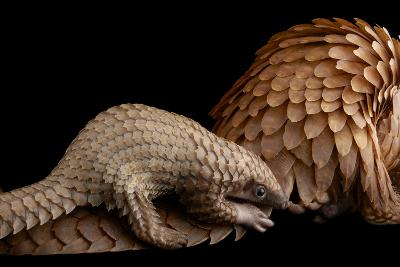 A Vulnerable Adult Female White Bellied Pangolin with Her Baby, at Pangolin Conservation-Joel Sartore-Photographic Print