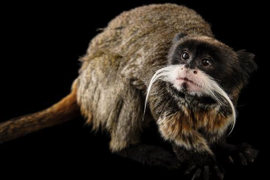 A Vulnerable Emperor Tamarin, Saguinus Imperator, at the Dallas World Aquarium.-Joel Sartore-Photographic Print