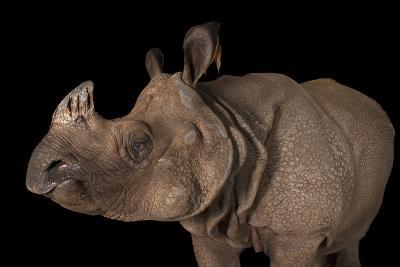 A Vulnerable Female Indian Rhinoceros, Rhinoceros Unicornis, at the Fort Worth Zoo-Joel Sartore-Photographic Print