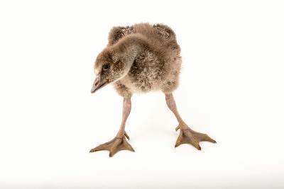 A Vulnerable Five Week Old Female Nene Goose at the Sylvan Heights Bird Park-Joel Sartore-Photographic Print