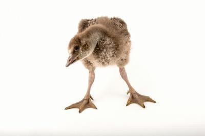 https://imgc.artprintimages.com/img/print/a-vulnerable-five-week-old-female-nene-goose-at-the-sylvan-heights-bird-park_u-l-q13htsk0.jpg?p=0