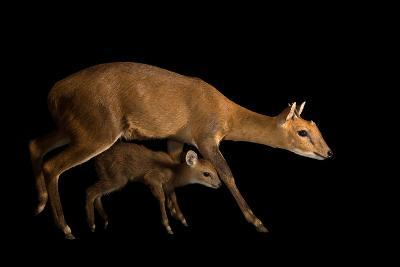 A Vulnerable Four Horned Antelope with His Fawn, Tetracerus Quadricornis-Joel Sartore-Photographic Print