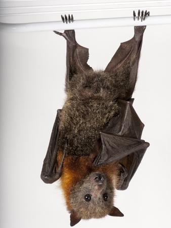 A Vulnerable Grey-Headed Flying Fox, Pteropus Poliocephalus-Joel Sartore-Photographic Print