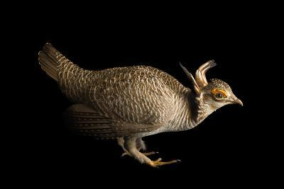 A Vulnerable Lesser Prairie Chicken, Tympanuchus Pallidicinctus-Joel Sartore-Photographic Print