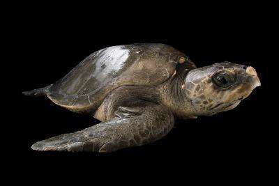 A Vulnerable Olive Ridley Sea Turtle, Lepidochelys Olivacea.-Joel Sartore-Photographic Print