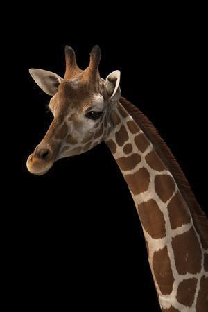https://imgc.artprintimages.com/img/print/a-vulnerable-reticulated-giraffe-giraffa-camelopardalis-reticulata_u-l-q1361vo0.jpg?p=0