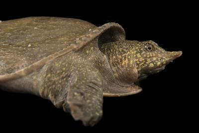 A Vulnerable Southeast Asian Softshelled Turtle-Joel Sartore-Photographic Print