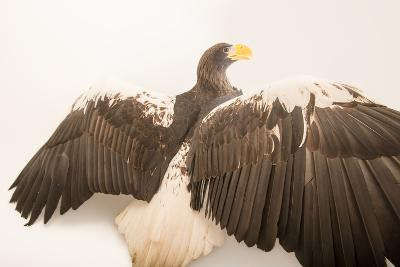 A Vulnerable Steller's Sea Eagle, Haliaeetus Pelagicus, at the Los Angeles Zoo.-Joel Sartore-Photographic Print