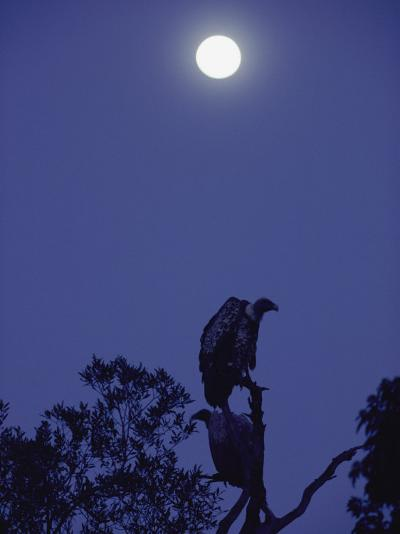 A Vulture Sits on a Branch under the Light of a Full Moon-Jason Edwards-Photographic Print