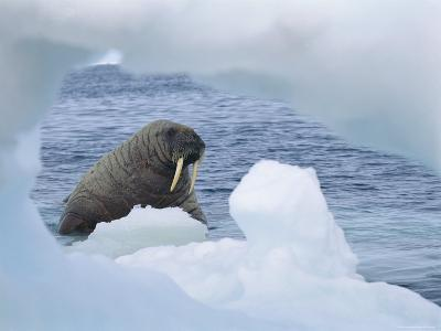 A Walrus Peers Through a Hole in an Iceberg-Norbert Rosing-Photographic Print