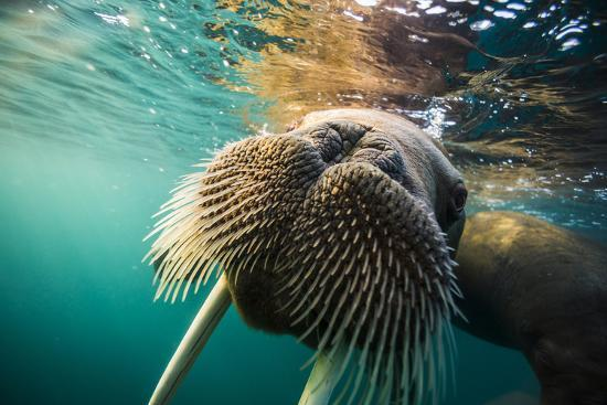 A walrus swims underwater off Hooker Island.-Cory Richards-Photographic Print