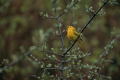 A Warbler Sings in a Tree-Michael Forsberg-Photographic Print