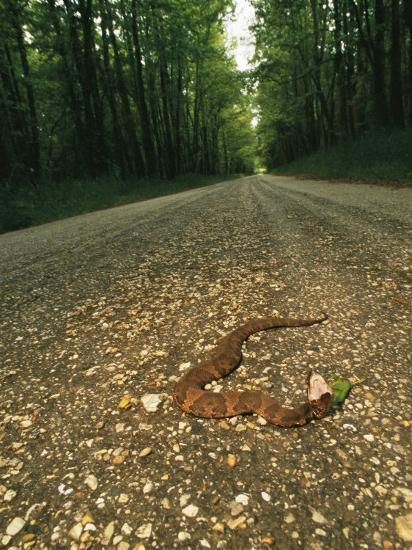A Water Moccasin Snake Opens its Mouth on a Road in Mississippi-Stephen Alvarez-Photographic Print