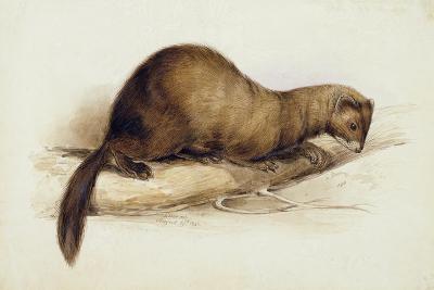 A Weasel, 1832-Edward Lear-Giclee Print