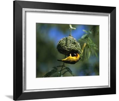 A Weaverbird Hangs Upside Down as It Builds Its Nest in a Mimosa Tree-Peter Carsten-Framed Photographic Print