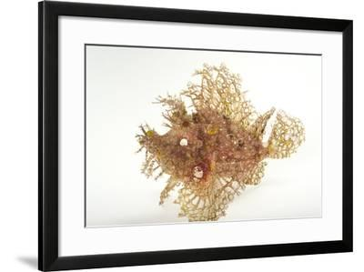 A Weedy Scorpionfish, Rhinopias Frondosa, at Omaha's Henry Doorly Zoo and Aquarium.-Joel Sartore-Framed Photographic Print