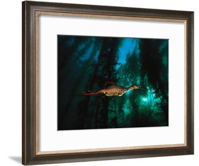 A Weedy Sea Dragon Paddles Through Emerald Jungles of Giant Kelp-David Doubilet-Framed Photographic Print