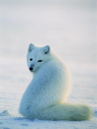 https://imgc.artprintimages.com/img/print/a-well-camouflaged-arctic-fox-sits-in-the-snow_u-l-p4pxtm0.jpg?p=0