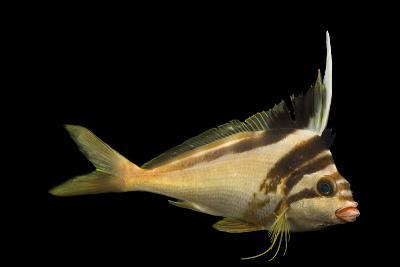 A Western Crested Morwong, Cheilodactylus Gibbosus, at Omaha's Henry Doorly Zoo and Aquarium-Joel Sartore-Photographic Print