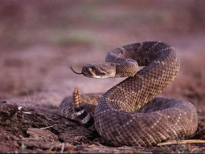 A Western Diamondback Rattlesnake Stands Coiled and Ready to Strike-Joel Sartore-Photographic Print