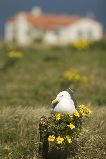 A Western Gull Roosts on a Plant with Yellow Flowers, Anacapa Island, Channel Islands National Park-Phil Schermeister-Photographic Print